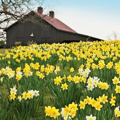 pinterest_spring daffodils