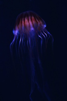 JELLYFISH_FREE IMAGES VIA PIXABAY